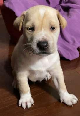 Vendo lindo cachorrito Labrador