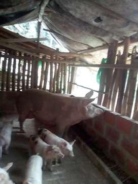 Granja la Guacamaya ofrece lechones, cerdos y cerditos para la cría o el sacrificio. Buena Raza