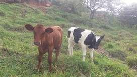 Vendo vacas holstein y jersey de 5 meses topisadas muy bonitas precio negociable