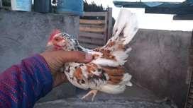 Aves enanas