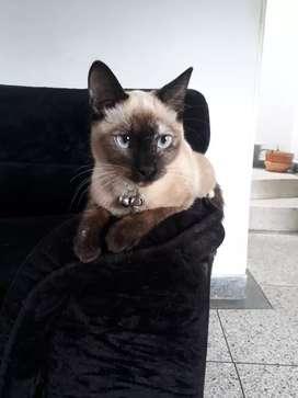 Busco novio gato siamés