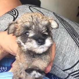 ala venta cachorro snauzer mini toys
