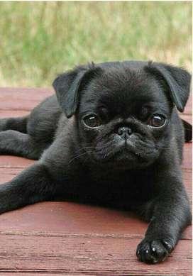 Cachorros Carlina Pug Negros
