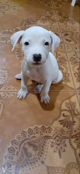 Cachorros de pitbull, 2 meses