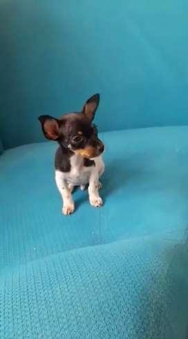 Hermoso  cachorrito pincher Alerquino de 45 días