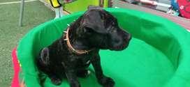 Vendo cachorro presa canario macho de 2 meses y 8 días