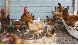 pollitos (gallina casera)