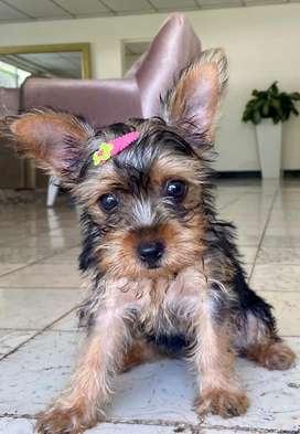 Hermosa yorkshire terrier