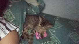 Se da en adopción gato de 3 meses