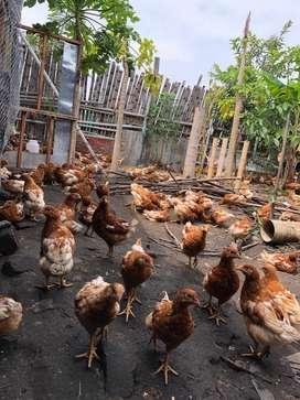 Vendo lote de gallinas crioyas