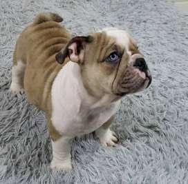 Hermoso bulldog inglés