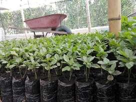 Plantas de Maracuya
