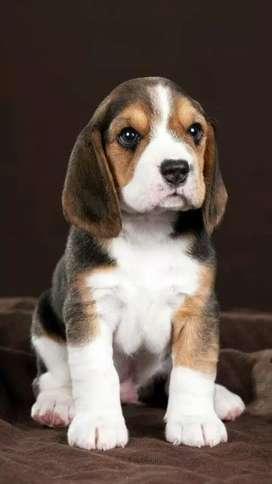 Beagle hermoso