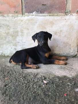 Vendo Hermosos Cachorras Doberman