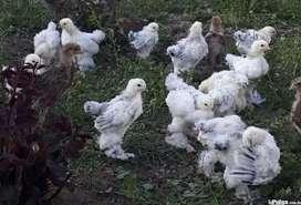 Pollos Brahma