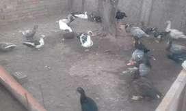 """Agropecuaria El Duck """"patos criollos"""""""