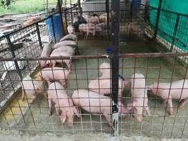 Cerdos para engorde tienen todas las vacunas