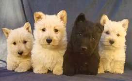 Scottish Terrier Espectaculares!!