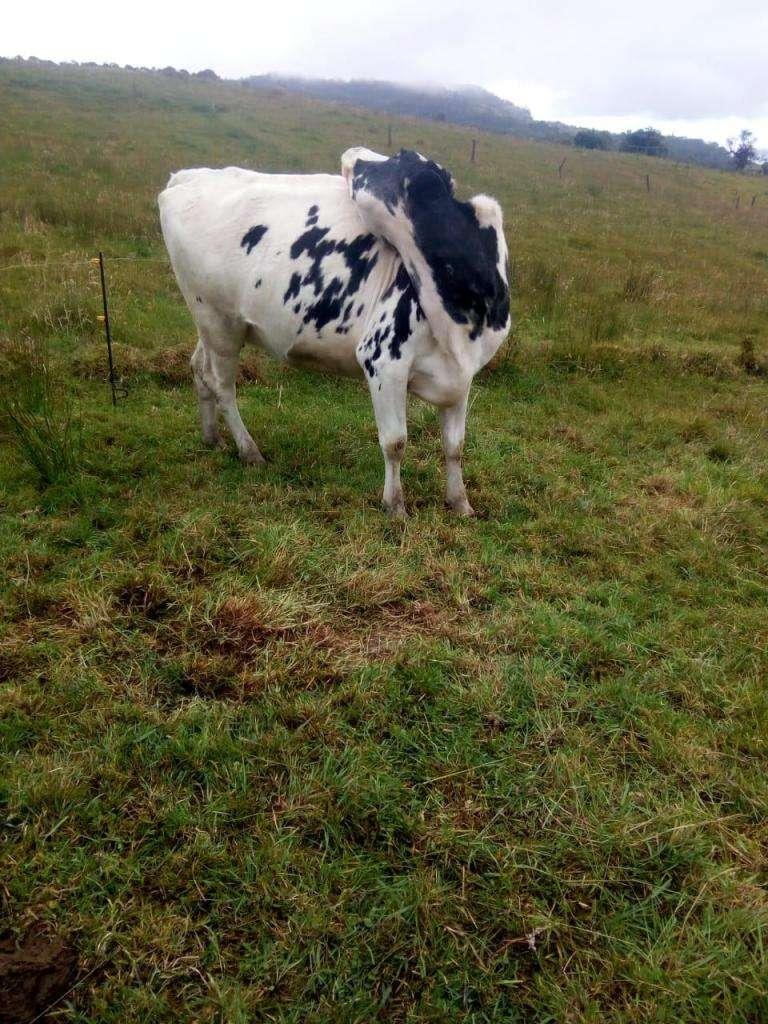 Vacas lecheras 0