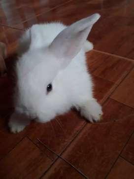 Vendo conejos pequeño machos