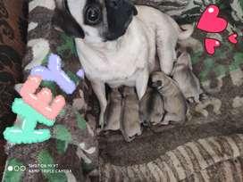 Cachorros raza: Pug Carlino