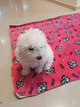 Vendo perrita french poodle