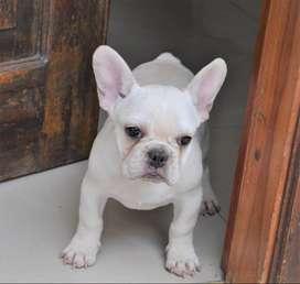 Bulldog Frances 50 Dias cachorrito para entrega