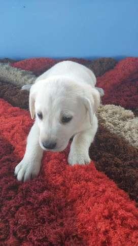 Labrador dorado