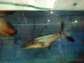 Se vende pez más o menos de 33cm o se cambia por pez Óscar