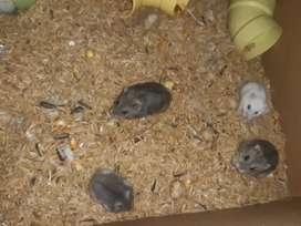 Hamster rusos enanos, comida y accesorios