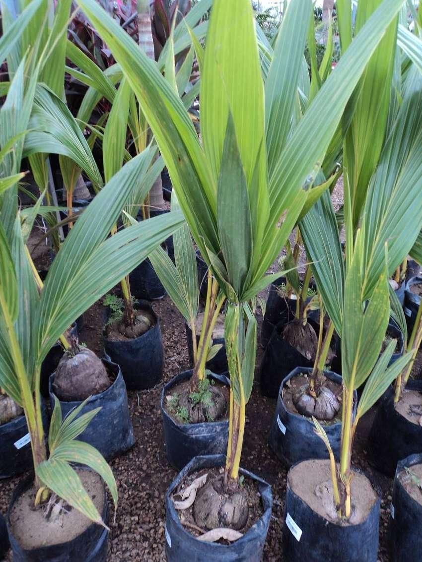 Cocotera planta. 0