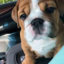 bulldog ingles 54 dias