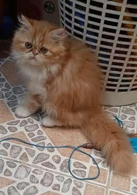 gato persa de 3 meses