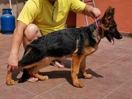 Pastor Alemán cachorra full pedigree  (Jesus Maria)
