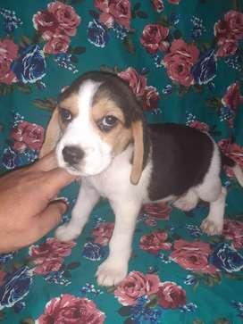 Beagle enanito tricolor fulll