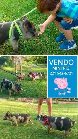 Cerdos mini pig