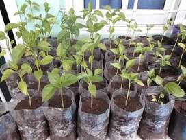 Plantines de pimientos