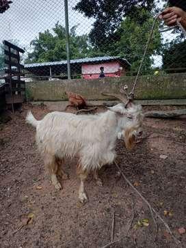 Vendo tres cabras paridas cada una con dos cabritos tambien vendo un chivo sam padrote