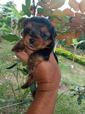 Garantizamos la raza yorkshire terrier