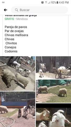 Animales de granja chanchos chivos oveja pavos etc