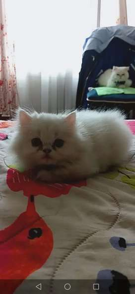 VENDO hermoso gatico persa extremo de 2 meses excelente Genética