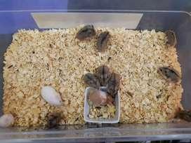 Hamster Rusos y Arlquines