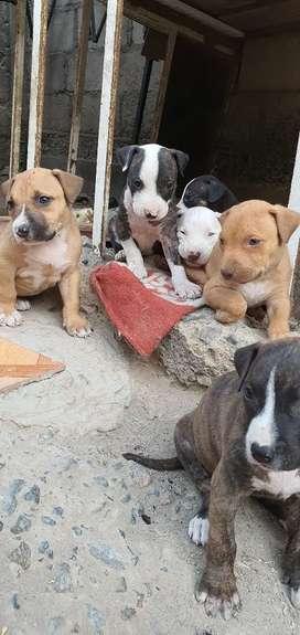 Venta de cachorros pitbull