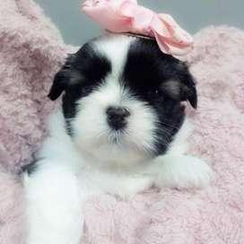 los mas tiernos shitzu, cachorros de 60 dias de vida