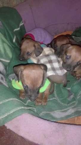 Se venden cachorritos salchicha