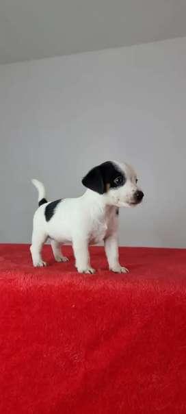 Pocho jack russel terrier