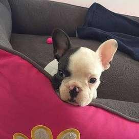 bulldog frances    lindos de 48 dias