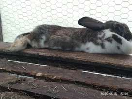 Conejo gigante
