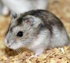se dan en adopcion  hamster rusos