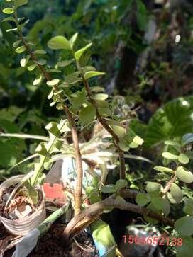 gp1160 Planta Suculenta Portulacaria